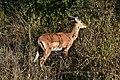 Impala, Ruaha National Park (8) (28743431395).jpg