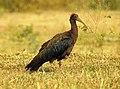 Indian Black Ibis Pseudibis papillosa by Dr. Raju Kasambe DSCN2445 (26).jpg