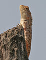 Indian Garden Lizard (Calotes versicolor) in Kinnarsani WS, AP W IMG 5940.jpg