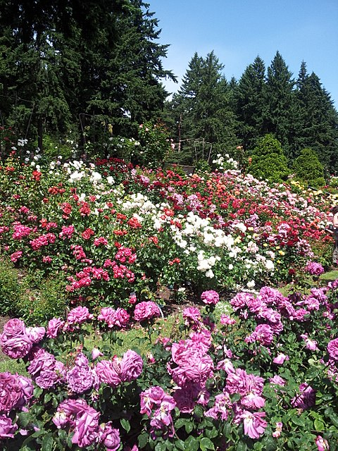 File international rose test garden portland oregon - International rose test garden portland ...