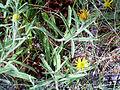 Inula montana Habitus 2009-7-25 SierraNevada.jpg