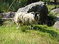 Inversnaid-inverarnan-Sheep.jpg