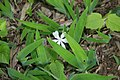 Iris cristata 2zz.jpg