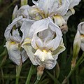 Iris lutescens-Iris des garrigues-Fleurs de variété blanche- 20160413.jpg