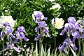 Iris pallida Variegata 5zz.jpg