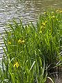 Iris pseudacorus(03).jpg