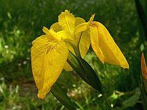 Iris pseudacorus 001.jpg