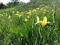 Iris variegata sl15.jpg