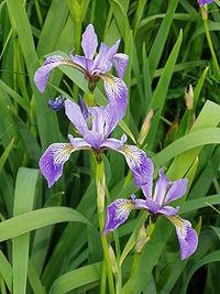 Iris versicolor 1