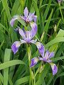 Iris versicolor 1.jpg