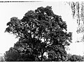 Jacaranda, Botanic Gardens(GN12760).jpg