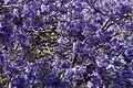 Jacaranda mimosifolia from anaimalai hills southern western chats JEG6066.jpg