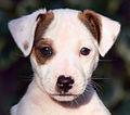 Jack Russell Terrier Puppy - Eddi.jpg