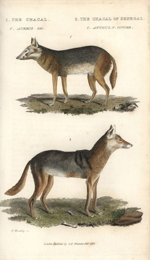 African golden wolf - Comparative illustration of C. aureus (top) and C. anthus (bottom).