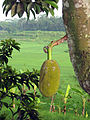 Jackfruit near Pringsurat Valley.jpg