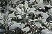 Jacobaea maritima 'Cirrus' Leaves.jpg