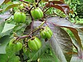 Jatropha gossypifolia - പേരറിയുമോ 03.jpg