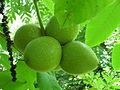 Juglans ailantifolia var. allantifolia ÖBG 09-07-16 01.jpg