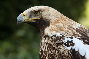 An Eastern Imperial Eagle.