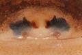 Kaldari Synageles noxiosus epigyne.jpg