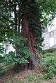 Kalkar ND 06 Appeldorn Mammutbaum Boetzelaer PM19-01.jpg