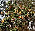 Kanak Champa (Pterospermum acerifolium) at Jayanti, Duars, West Bengal W IMG 5316.jpg