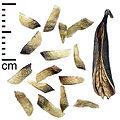 Katsura tree seeds and fruit, Alnarp.jpg