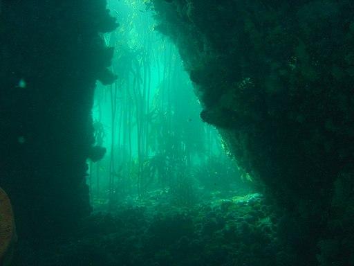 Algenwald. Kelp forest at A-Frame DSC06023