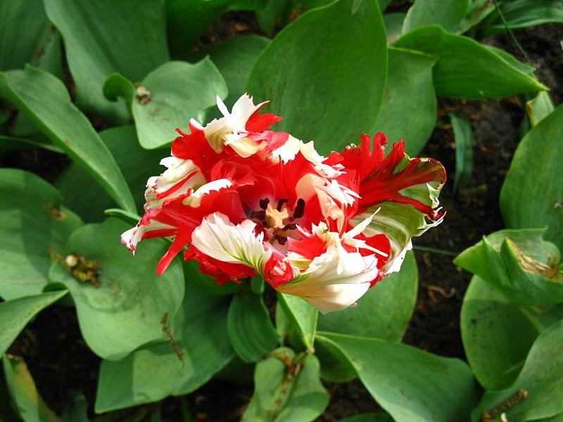 File:Keukenhof tulipe rouge et blanche.JPG