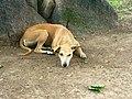 Khajuraho - stray dog.jpg