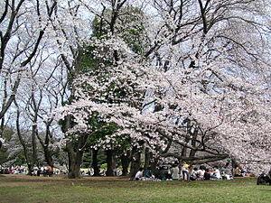 Kinuta Park - Cherry blossoms in Kinuta Park, March 2004