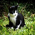 Kitty Cat (2265647870).jpg