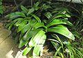 Klivie (Clivia miniata).jpg