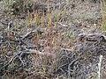 Koeleria macrantha (3879656665).jpg