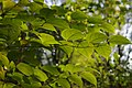 Korina 2013-10-19 Fallopia japonica 8.jpg