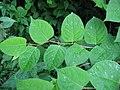 Korina 2014-06-11 Fallopia japonica.jpg
