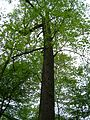 Kornik Arboretum tulipanowiec amerykanski.jpg