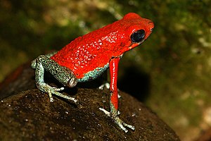 Aposematism - The bright colours of this granular poison frog signal a warning to predators of its toxicity.