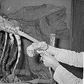 Kraaghagedis in Artis uit Nieuw-Guinea, Bestanddeelnr 914-3709.jpg