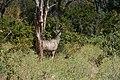Kudu, Ruaha National Park (9) (28403360184).jpg
