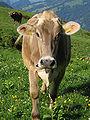 Kuh im Rätikon (Vordersäss).jpg