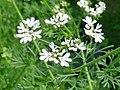 Kwiat kolendry 01.jpg