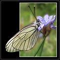 La pomarina ♂ Aporia crataegi (9162347556).jpg