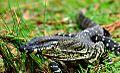 Lace Monitor at Peacock - Richmond Range National Park.jpg