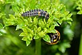 Lady beetle larva and adult - Flickr - jeans Photos.jpg