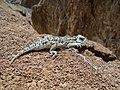 Lagarto Cornudo; Camaleón Cornudo; Phrynosoma 05.jpg