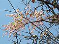 Lagerstroemia parviflora- flowers.JPG