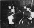 Lancaster County, Pennsylvania. Cattle feeding is a practice of long standing in southeastern Penns . . . - NARA - 521128.tif