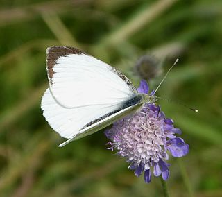<i>Pieris brassicae</i> species of butterfly