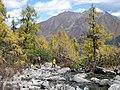 Larix potaninii streamside Huluhai.jpg